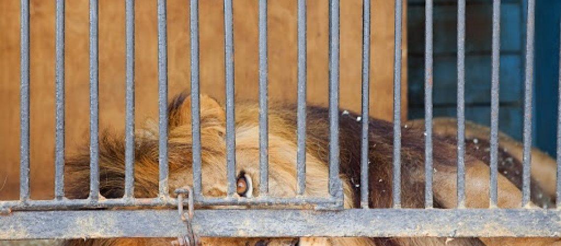 Sad Caged Lion 2